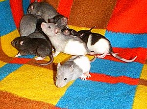 Fancy rat - Young rats (Approximately 3 weeks old)
