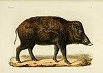 Recherches pour servir à l'histoire naturelle des mammifères (immagine 80) (6947132294) .jpg