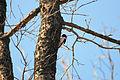 Red-headed woodpecker.JPG