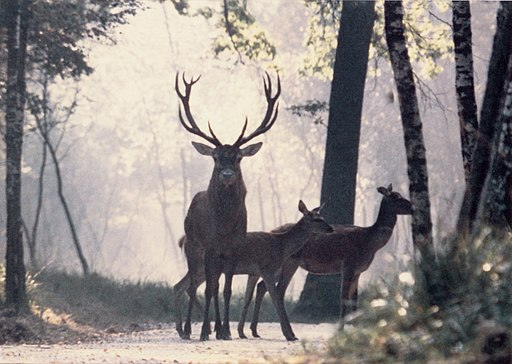 Red Deers on a path in a forest of Haute-Normandie