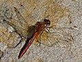 Red Dragonfly 1 (7974395486).jpg