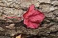 Red Leaf (2920690104).jpg