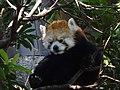 Red Panda - Ueno Zoo (15226372491).jpg