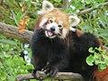 Red Panda in a Gingko tree.jpg