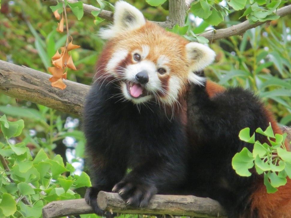 Red Panda in a Gingko tree