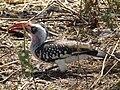 Red billed hornbill Tockus erythrorhynchus in Tanzania 3652 Nevit.jpg