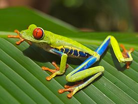 http://upload.wikimedia.org/wikipedia/commons/thumb/b/be/Red_eyed_tree_frog_edit2.jpg/275px-Red_eyed_tree_frog_edit2.jpg