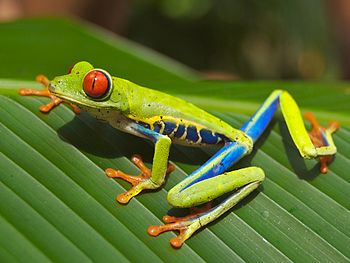 Red-eyed Tree Frog (Agalychnis callidryas), ph...
