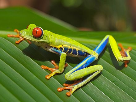 Red-eyed Tree Frog (Agalychnis callidryas) Red eyed tree frog edit2.jpg