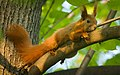 Red squirrel (33853239318).jpg