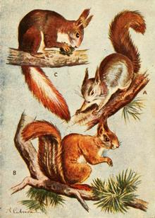 10 boli pe care le-ai putea lua de la animalul tau de companie - Paraziți de veveriță roșie