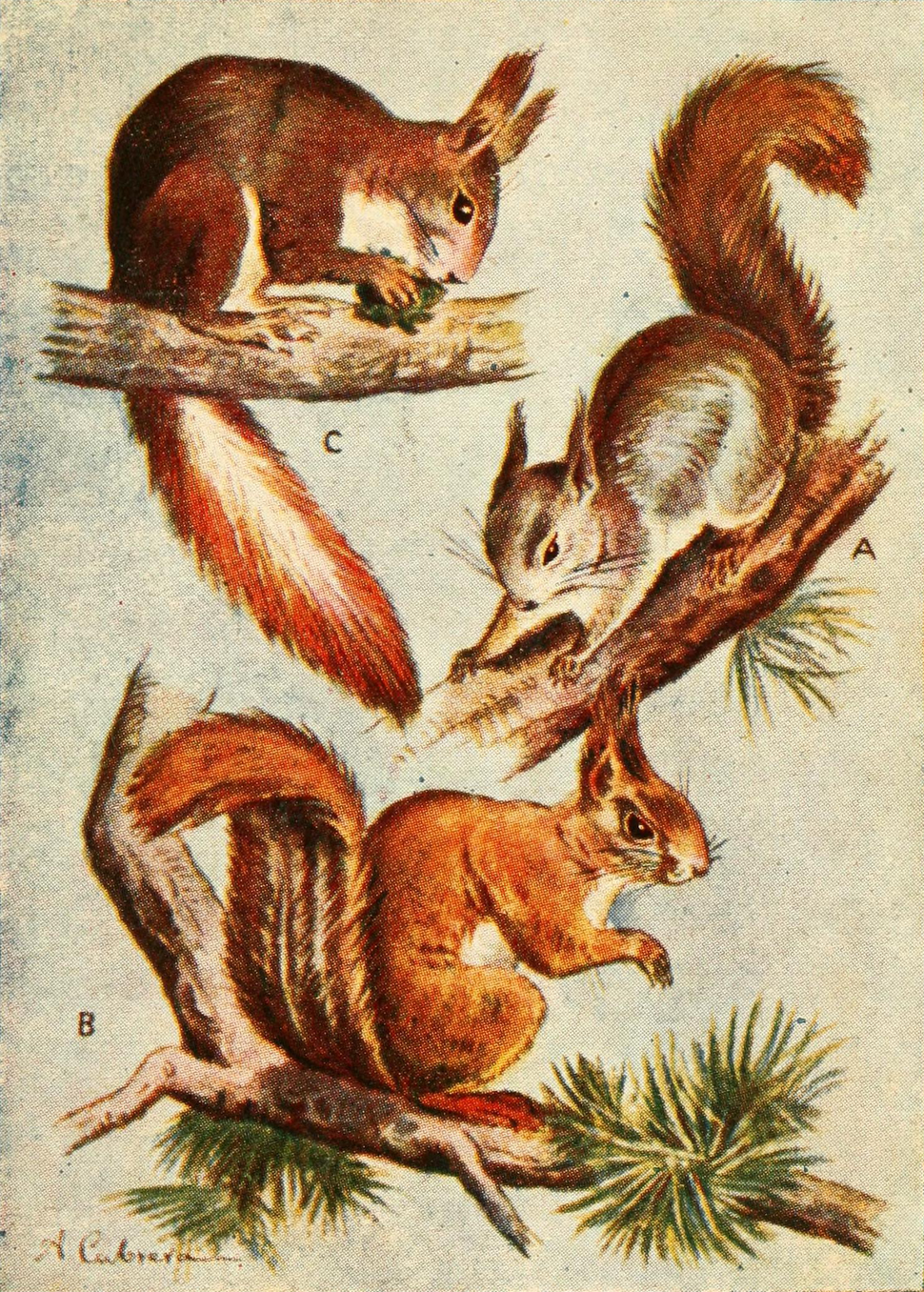 Red squirrel subspecies