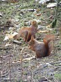 Red squirrels, Formby - geograph.org.uk - 376411.jpg