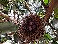 Redvented bulbul nest.jpg