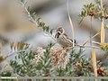 Reed Bunting (Emberiza schoeniclus) (48988492421).jpg