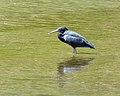 Reef Heron (8150015542).jpg