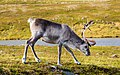 Reno (Rangifer tarandus), Honningsvåg, Noruega, 2019-09-03, DD 15.jpg
