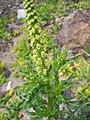 Reseda luteola (Flowers).jpg