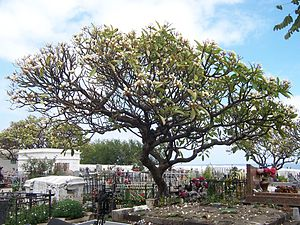 White Frangipani trees (Plumeria rubra) in the...