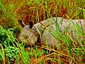 Rhinoceros at Kaziranga National Park.JPG