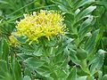 Rhodiola rosea a4.jpg