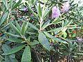 Rhododendron smirnowii 05.JPG