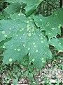 Rhytisma acerinum 146304443.jpg