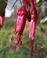 Ribes speciosum2.jpg
