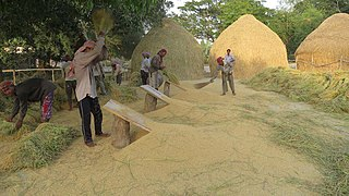 Rice threshing in Bangladesh.jpg