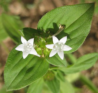 <i>Richardia brasiliensis</i> species of plant