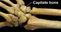 RightHumanPosteriorDistalRadiusUlnaCarpals - Capitate bone.png