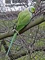 Ring Necked Parakeet (Psittacula krameri) - geograph.org.uk - 1174096.jpg