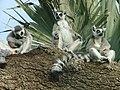 Ringtailed lemur 46 - Bioparc- Valencia, Spain.JPG
