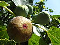 Ripe fig fruit on tree (Ficus Carica) in Southern France.JPG