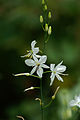 Rispige Graslilie, Anthericum ramosum 2.jpg
