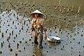 Riziculture à Tam Coc (2).jpg