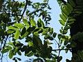 Robina pseudoacacia - Bagrem (1).jpg