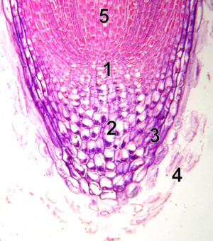Root cap - Root tip magnified 100×. 1. Meristem 2. Columelle (statocytes with statolithes) 3. Lateral part of the tip 4. Dead cells 5. Elongation zone