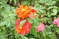 Rosa 'Brothers Grimm' JPG.jpg