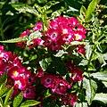 Rosa 'Little Buckaroo' in Nuthurst, West Sussex, England (cropped).jpg
