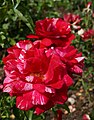 Rosa 'Papageno' McGredy 1989 03.jpg