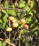 Rosa phoenicia fruits.JPG