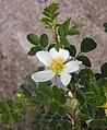 Rosa spinosissima inflorescence (72).jpg