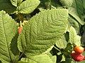 Rosa villosa leaf (09).jpg