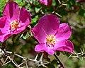 Rosa willmottiae 5.jpg