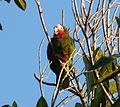 Rose-throated Parrot. Amazona leucocephala - Flickr - gailhampshire (2).jpg