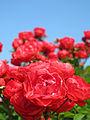 Rose Meiwonder バラ メイワンダー (8023738785).jpg