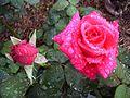 Rose pink kardinal.jpg