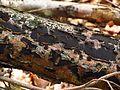 Rotbuchen- ode Münzenförmige Rindenkugelpilz (Biscogniauxia nummularia, Hypoxylon nummularium), auch Pfennig-Kohlenkruste - hms(1).jpg
