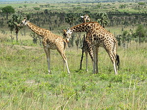Northern giraffe - Northern giraffes (G. c. camelopardalis) in the savannahs of Murchison Falls National Park, Uganda.